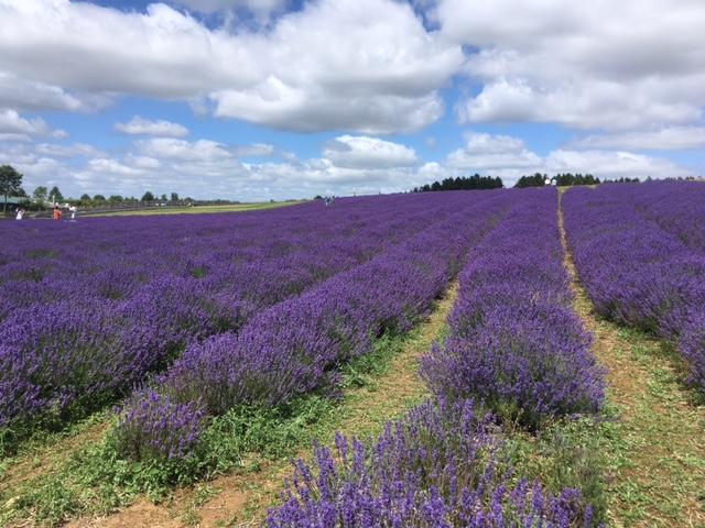 Cotswold lavender farm, near Snowshill