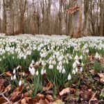 Welford snowdrops