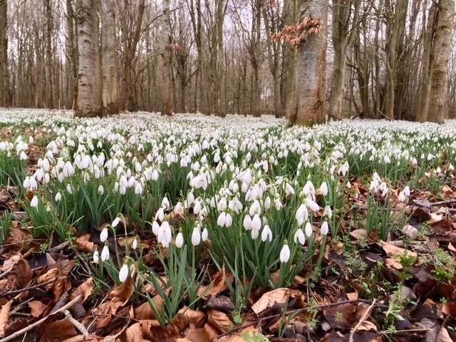 Best places to see snowdrops in Oxfordshire and Berkshire - A family day out