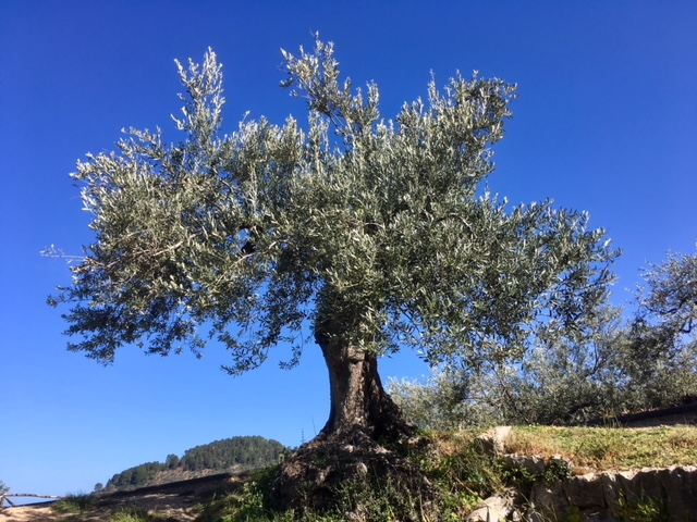 Olive tree, Soller