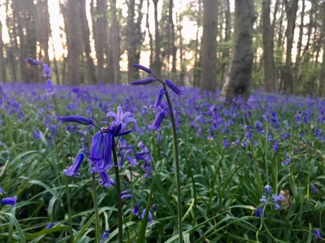 Bluebell wood at Thistledown Farm