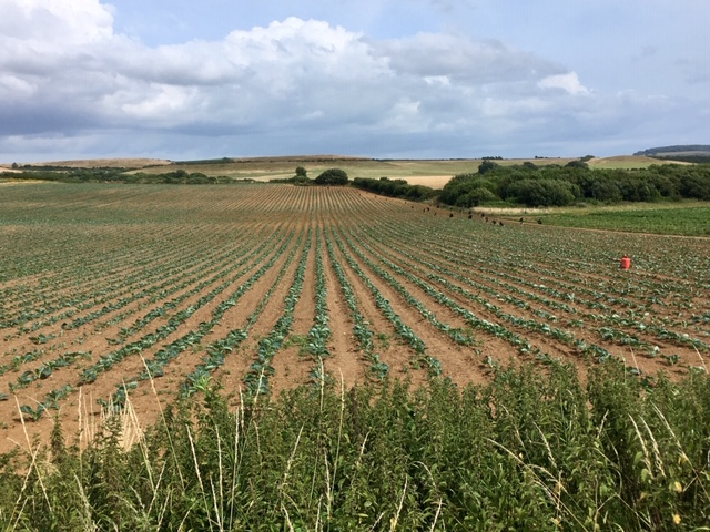 Crop fields near Brighstone, Isle of Wight