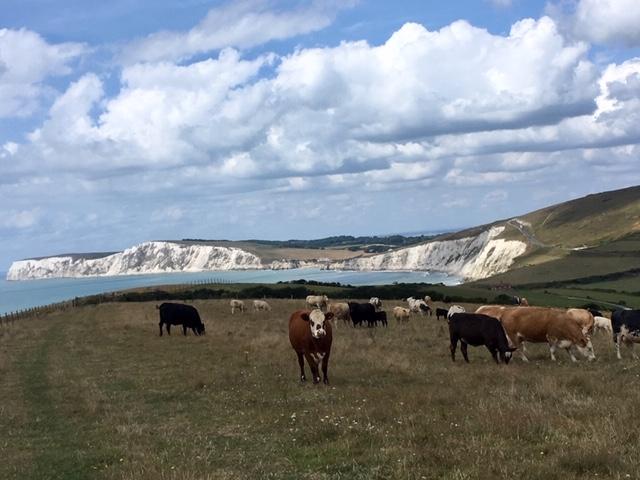 Cows near Compton Farm