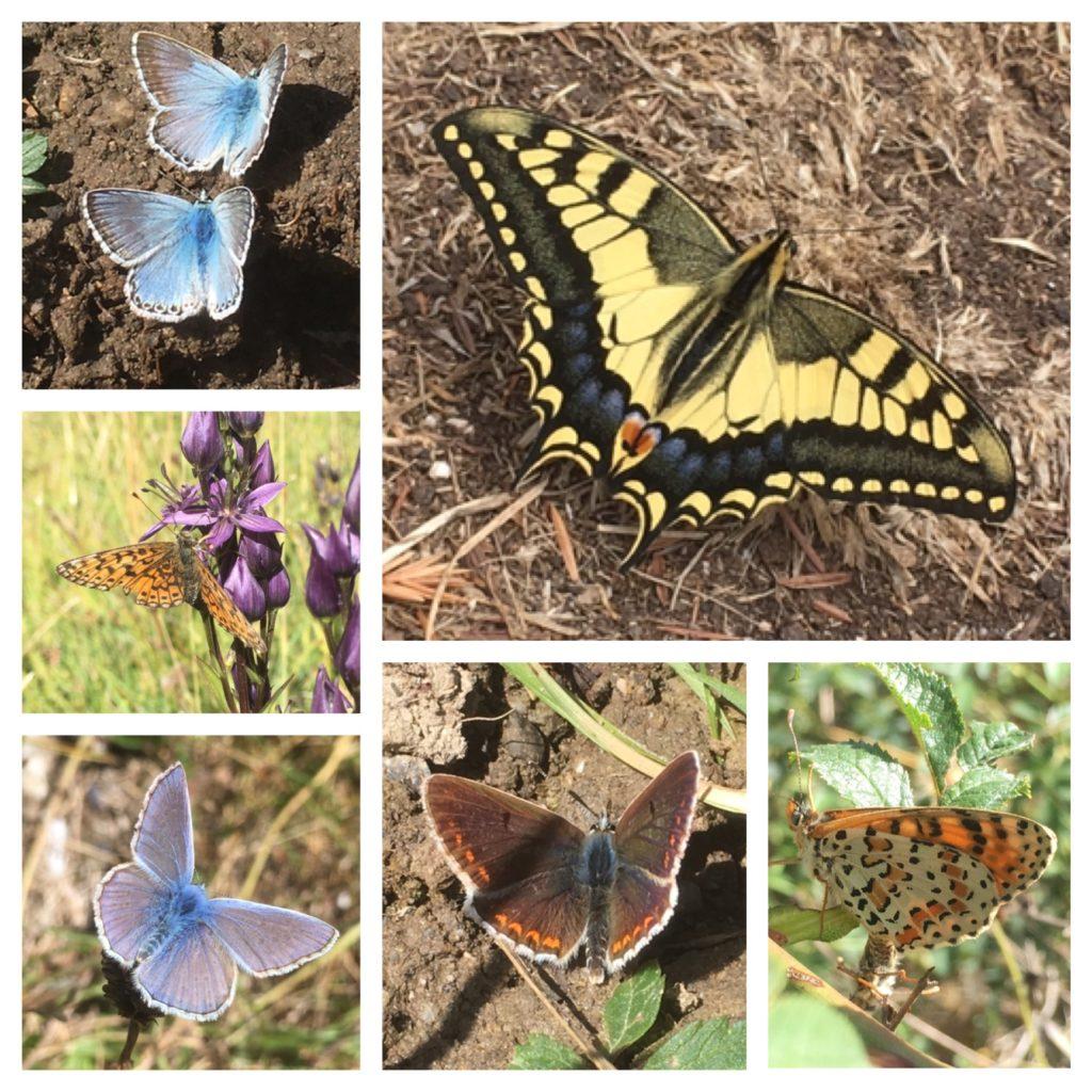 Picos de Europa butterflies