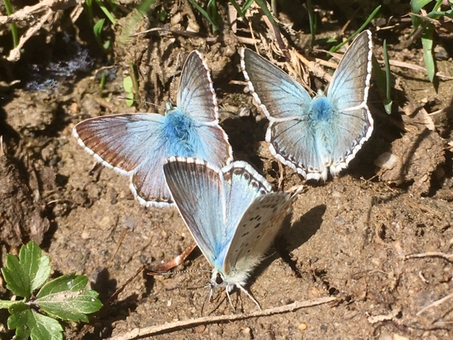 Chalk hill blue butterflies, Picos de Europa