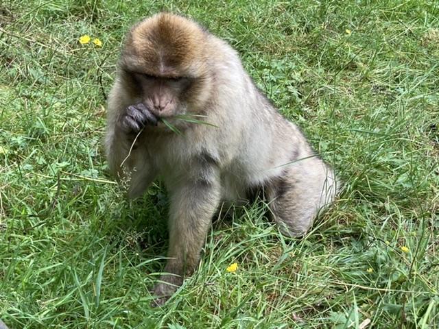 Trentham Monkey Forest, Staffordshire
